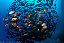 Bronze Circle  --  School of fish off Socorro Island. by Craig Dietrich