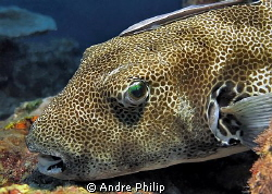 portrait of a giant pufferfish by Andre Philip