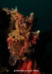 Painted frogfish just on the shores of Mabul Island taken... by Maria Munn