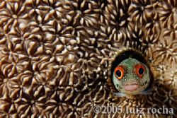 A happy blenny on its coral house. by Luiz Rocha