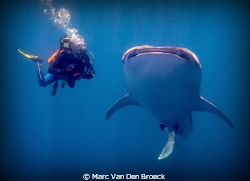 buddy and whaleshark by Marc Van Den Broeck