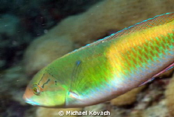 Yellowhead Wrasse on the Big Coral Knoll off the beach in... by Michael Kovach