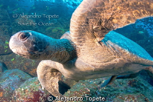 Green Turtle close up, Galapagos Ecuador by Alejandro Topete