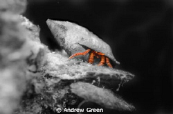 Hermit crab in B&W with legs accented in original colour by Andrew Green