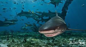 The Lemon Shark Smile from Tiger Beach - Bahamas by Steven Anderson