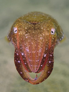 Mourning Cuttle, Chowder Bay by Doug Anderson