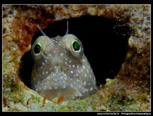Curious Blenny... :O)... by Michel Lonfat