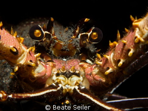 Lobster close-up on a nightdive at the house reef by Beate Seiler