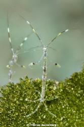 skeleton shrimps (Caprellidae)  NIKON D7000 in a Seacam... by Thomas Bannenberg