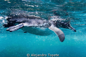 Pinguin on the surface,Galapagos Ecuador by Alejandro Topete