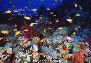 beutifull Reef in Red sea,Sharm il Sheik Egypt by Alejandro Topete
