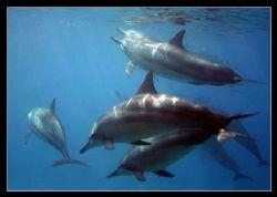 Spinner Dolphins - Kahe Point West Shore Oahu, Hawaii. by Glenn Poulain