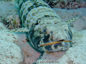 The light from within- Sand Diver by Lisa Hinderlider