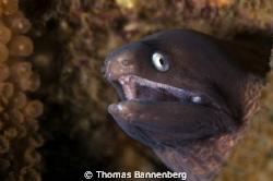 "moray eel  NIKON D7000 in a Seacam ""Prelude"" uw housing... by Thomas Bannenberg"