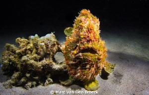 frog fish by Marc Van Den Broeck
