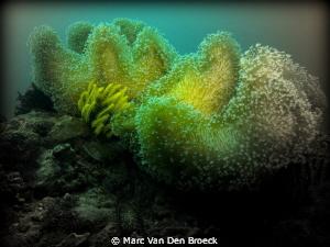 coral by Marc Van Den Broeck