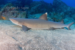 Shark resting, Galapagos Ecuador by Alejandro Topete