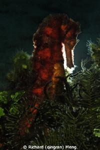 Hairy seahorse by Richard (qingran) Meng