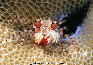 Boxer crab with eggs Nikon D200 , 60 micro, twin strobo... by Marchione Giacomo