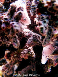 2 peppered morays hiding in coral by Laura Dinraths
