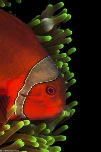 tomato clownfish by Mathieu Foulquié
