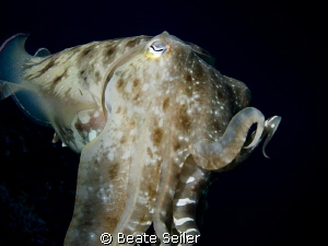 Cuttlefish by Beate Seiler