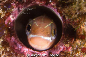 Blenny smile, La Paz Mexico by Alejandro Topete