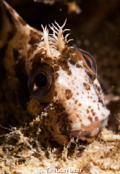 Blenny by Timucin Ucar