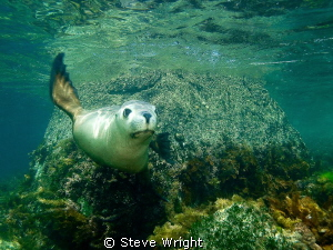 The rare and endangered Australian Sealion. by Steve Wright