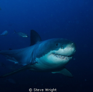 Great White...shot taken from bottom cage at the Neptune ... by Steve Wright