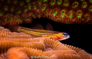 Peppermint Goby...Bonaire by Beth Watson