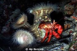 Anemone and hermit crab symbiosis by Alp Baranok