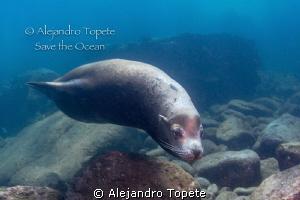 Fantastic Sea Lion encounter,La Paz Mexico by Alejandro Topete