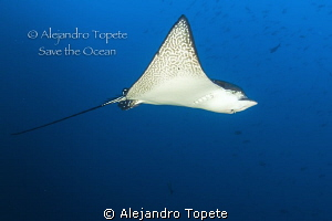 Eagle Ray on Blue, Galapagos Ecuador by Alejandro Topete