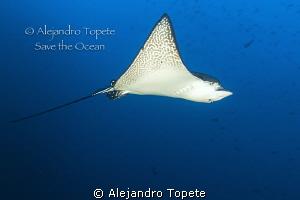 Eagle Ray on Blue, Galapagos Ecuador by Alejandro Topete
