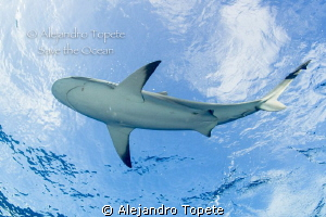 Shark on the suface, Gardens of the Queen Cuba by Alejandro Topete