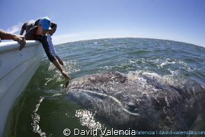 gray whale, lopez mateos, baja california sur by David Valencia