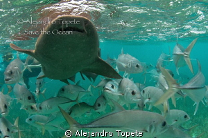 Shark with Jacks, San Pedro Belize by Alejandro Topete