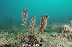 Tunicates on the silty bottom of Mahurangi harbour by Daniel Poloha