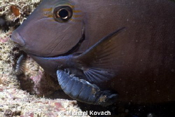 Cymothoid Isopod affixed to a Doctorfish on the Big Coral... by Michael Kovach