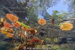 Plantas en Gran Cenote, Tulum Mexico by Alejandro Topete