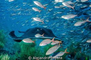 Raya Marmoleada entre Peces, Galapagos Ecuador by Alejandro Topete