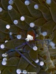Mushroom Coral Shrimp (Kemponia kororensis)  Sea&Sea DX... by Thomas Bannenberg