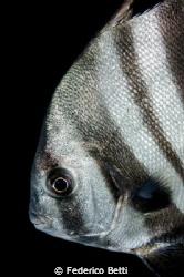 Pretty Face of a batfish by Federico Betti