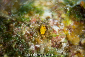 Yellow Head Blenny - Sony NEX 7 with 50mm f1.8 + Extensio... by Oktay Calisir