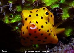 juvenile Yellow Box fish.. by Yusran Abdul Rahman