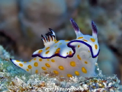 Hypselodoris ghardaqana