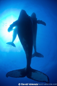 Humpback Whales; This mother, calf, and escort male swam ... by David Valencia
