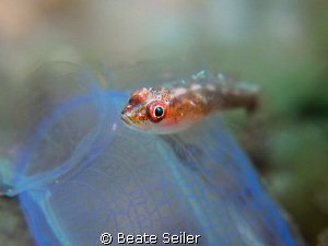 small blennie on a tunicate by Beate Seiler