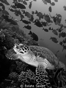 Turtle on the Alam Batu housereef by Beate Seiler